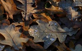 Обои осень, роса, Листья дуба