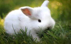 Обои зелень, трава, размытость, кролик