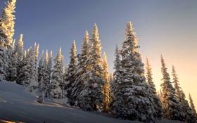 Обои зима, снег, природа, ели, склон