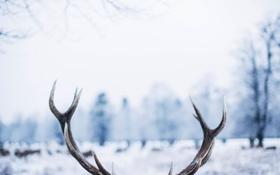 Картинка зима, олень, рога