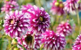Обои георгин, цветение, dahlias, Bud, bloom, bright, яркий