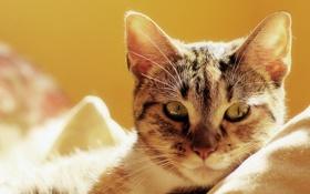 Обои кошка, кот, постель, котэ, лежа