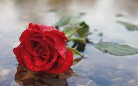 Обои капли, цветок, роза, красная