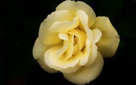 Картинка цветок, макро, роза, желтая