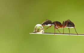 Обои капля, ветка, муравей, drop, branch, drinking water, ant