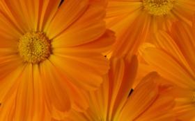 Обои садовые цветы, ноготки, рабочий стол
