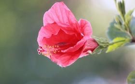 Обои цветок, розовый, лепестки, стебель