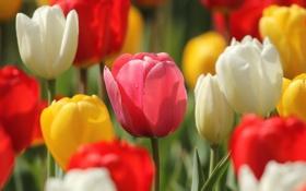 Обои цветы, весна, тюльпаны