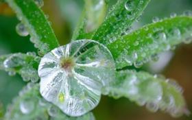 Картинка листья, вода, капли, роса, растение