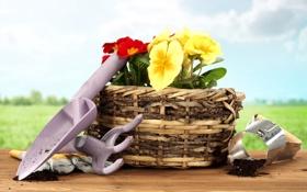 Обои цветы, корзина, flowers, basket, примула, primrose, садовый инвентарь