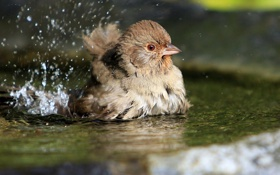 Картинка вода, брызги, птица, купание