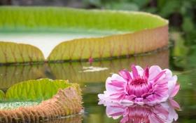 Картинка цветы, природа, листок, водяная кувшинка