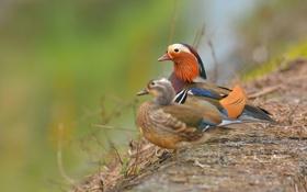 Обои птицы, две, утки, мандаринки