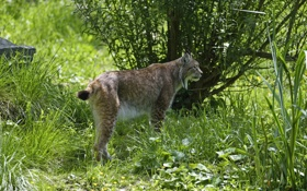 Картинка кошка, трава, природа, профиль, рысь