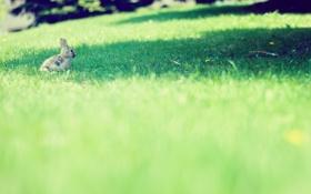 Обои поляна, зайчик, русак