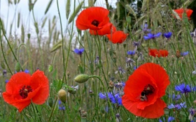 Картинка трава, маки, луг, поле, лепестки, цветы