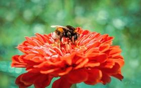 Картинка цветок, макро, пион, puxa, Шмель, собирает пыльцу