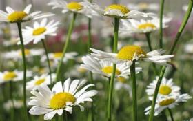 Обои поле, лето, цветы, ромашки