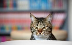 Картинка кот, морда, комната, фокус, серьезный