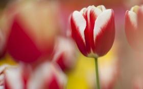 Обои природа, тюльпан, фокус, весна, красно-белый, разтытость