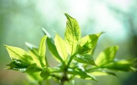 Картинка солнце, растение, листочки, мята