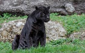 Обои хищник, пантера, ягуар, дикая кошка, зоопарк