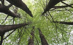 Обои природа, липа, дерево