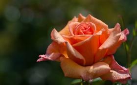 Обои макро, роза, лепестки, бутон