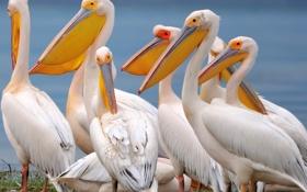 Обои птицы, перья, клюв, пеликан
