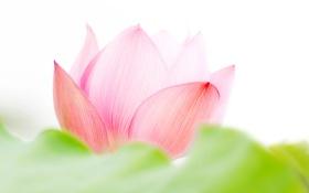 Картинка цветок, фон, розовый, лотос
