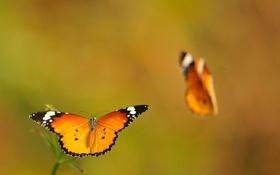 Обои макро, бабочки, две, крылья