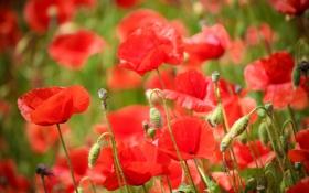 Картинка цветы, маки, лепестки, красные