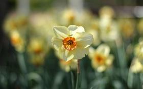 Картинка цветы, природа, фокус, весна, много, нарциссы