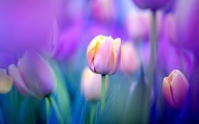 Обои поле, природа, обои, луг, тюльпаны
