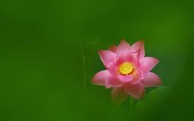 Обои розовый, лотос, зеленый фон