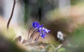 Обои цветы, природа, Hepatica