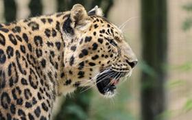 Обои пятна, дикая кошка, профиль, морда, хищник, леопард