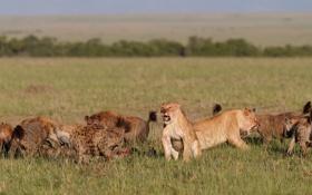 Обои трава, кошки, стая, драка, оскал, львицы, гиены