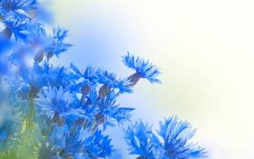 Обои листья, васильки, цветы