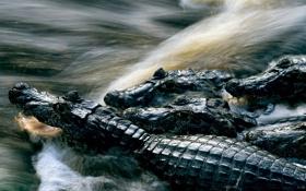 Картинка вода, природа, фото, крокодилы, National Geographic
