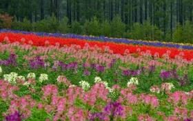 Обои поле, лес, цветы, Япония, Хоккайдо, луг, Japan