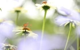 Обои поле, цветы, бабочка, лепестки, луг, насекомое, эхинацея