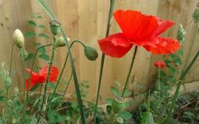 Картинка цветок, забор, мак, лепестки, двор
