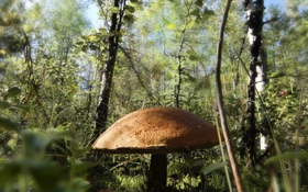 Обои лес, гриб, Природа, трава