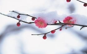 Картинка снег, цветы, ветка, сакура, бутоны