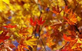 Обои листья, осень, ветки, японский клен