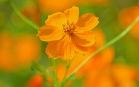 Картинка зелень, цветок, оранжевый, лепестки, размытость