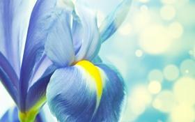 Обои цветок, лепестки, стебель, ирис