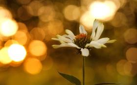 Картинка цветок, макро, боке, эхинацея