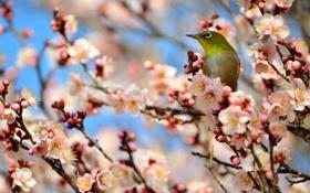 Обои ветки, дерево, птичка, абрикос, цветение, Японская белоглазка